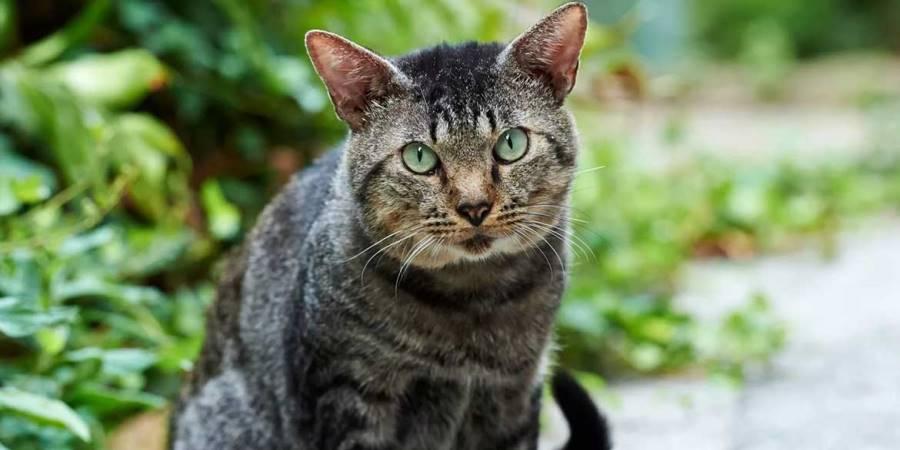 коронавирус у кошек короновирусный энтерит у кошки