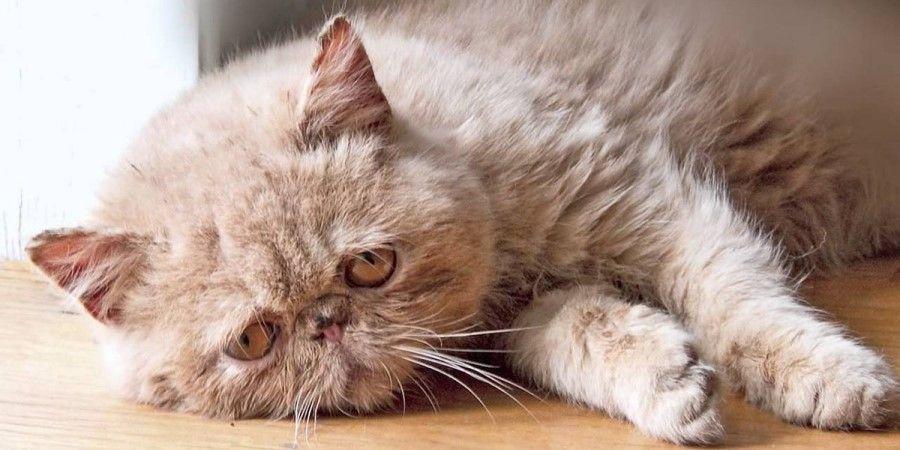 Лейкоз у кошек. Симптомы и признаки лейкоза у кошки