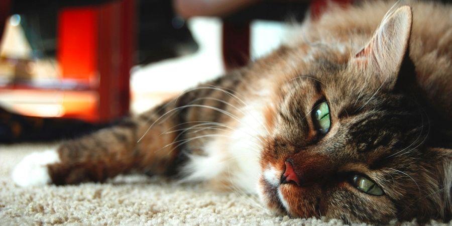 Воспаления у кошек. Виды воспалений у домашней кошки. Симптомы